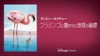 ディズニーネイチャー/フラミンゴに隠された地球の秘密 動画